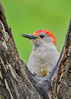 """<div class=""""jaDesc""""> <h4>Male Red-bellied Woodpecker Framed By Branches - May 7, 2017</h4> <p>Our male Red-bellied Woodpecker was a bit wet from the rain, but posed nicely between branches of a tree.</p> </div>"""