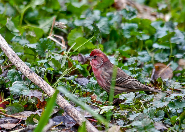"<div class=""jaDesc""> <h4>Male House Finch Ground Feeding - November 19, 2017 </h4> <p>We had two pairs of House Finches arrive during the snowy weather this week.  They will probably stay through the winter.  They dine on sunflower seeds, white millet, and thistle mix.</p> </div>"