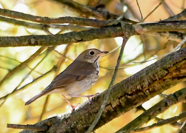 """<div class=""""jaDesc""""> <h4> Migrating Hermit Thrush - November 7, 2018</h4> <p>This Hermit Thrush flew from dense underbrush to the inner branches of a huge white pine tree.  These birds winter in the Southern US and Mexico.  Lima, PA </p> </div>"""