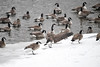 "<div class=""jaDesc""> <h4>Canada Goose Wing Flap - December 30, 2017 </h4> <p>At the completion of a grooming session, a goose would flap its wings 2 or 3 times.  Susquehanna River, Nichols, NY</p> </div>"