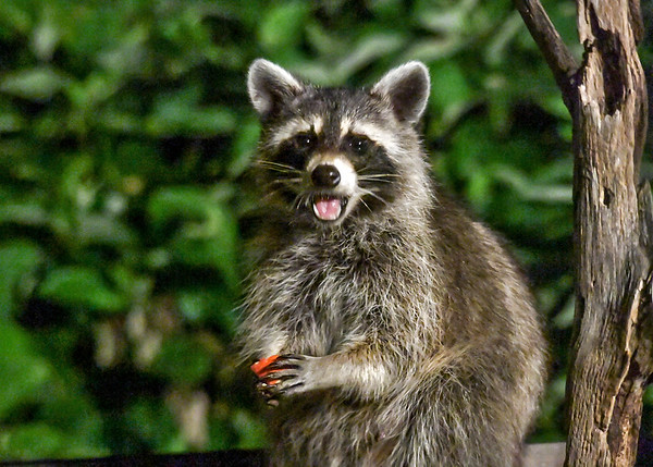 "<div class=""jaDesc""> <h4>Raccoon Says Thank You to Me - July 12, 2017</h4> <p></p> </div>"