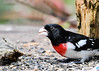 "<div class=""jaDesc""> <h4> First Grosbeak Arrives - April 27, 2017</h4> <p>This male Rose-breasted Grosbeak showed up yesterday.  I can't wait till he starts singing for a mate; he has a beautiful melodic call.</p> </div>"