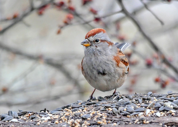 """<div class=""""jaDesc""""> <h4>2nd Tree Sparrow Dining - January 7, 2018</h4> <p>The second Tree Sparrow had a slightly different look; could be an immature bird.</p> </div>"""