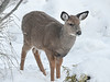 """<div class=""""jaDesc""""> <h4> White-tailed Yearling Considering Cedar Shrub - November 23, 2018</h4> <p>One of the Yearlings decided to nibble on a little cedar shrub that is still in its pot.</p> </div>"""