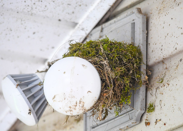 """<div class=""""jaDesc""""> <h4>Phoebes Build Nest - May 2, 2017</h4> <p>Instead of building their nest in our garage, this year the Phoebes chose the flood light on our back porch.  They were mostly done before I realized it, so I had to unscrew both bulbs one turn so they won't come on - too much heat for the eggs and chicks.  Nest was completed in 3 days.  Moss exterior is typical for Phoebes.</p> </div>"""