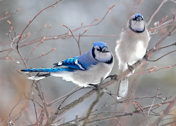 """<div class=""""jaDesc""""> <h4>Blue Jays in Love - March 3, 2018</h4> <p>Even though it is still officially winter, it is courtship time for the Blue Jays.  They have already started choosing their mates. </p></div>"""