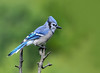"""<div class=""""jaDesc""""> <h4>Blue Jay Taunting Sharp-shinned Hawk - September 18, 2016</h4> <p>Here is one of the 6 Blue Jays that was taunting the Sharp-shinned Hawk to try and catch him.  He would land on a perch within ten feet of the hawk and call loudly.</p> </div>"""