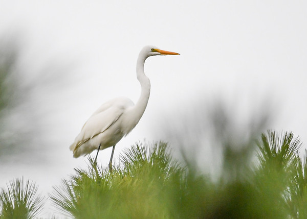"""<div class=""""jaDesc""""> <h4>Second Great Egret in Pine Tree - October 23, 2017</h4> <p>After watching his mate take-off, he quickly decided to follow her to a nearby tree.</p> </div>"""
