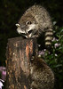 "<div class=""jaDesc""> <h4>2nd Young Raccoon Dining in Woodpecker Hole - August 22, 2017</h4> <p>The 1st  young raccoon would not share the top of the log, so the 2nd Raccoon went after the peanuts I tossed into the woodpecker hole on the side of the log. </p></div>"