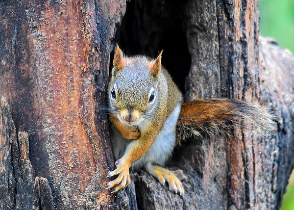 """<div class=""""jaDesc""""> <h4>Red Squirrels are Back - May 16, 2018</h4> <p>Our usual pair of Red Squirrels finally showed up.  The winter over in a huge old pine tree across the road.  Guess their winter stash has run out.</p>  </div>"""