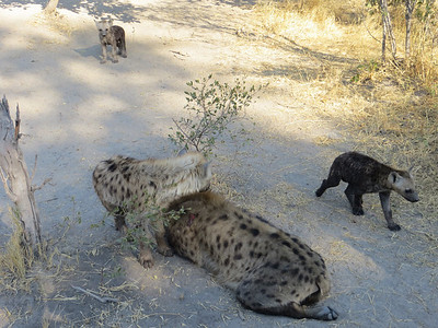 Hyena den… three females and about seven cubs.