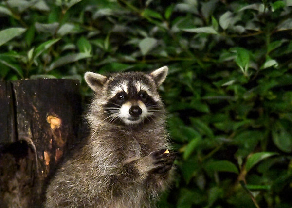 """<div class=""""jaDesc""""> <h4>Young Raccoon Holding Apple Chunk - September 16, 2017</h4> <p>The young Raccoons are getting bigger by the day.  Two of them came in by themselves this evening.</p> </div>"""