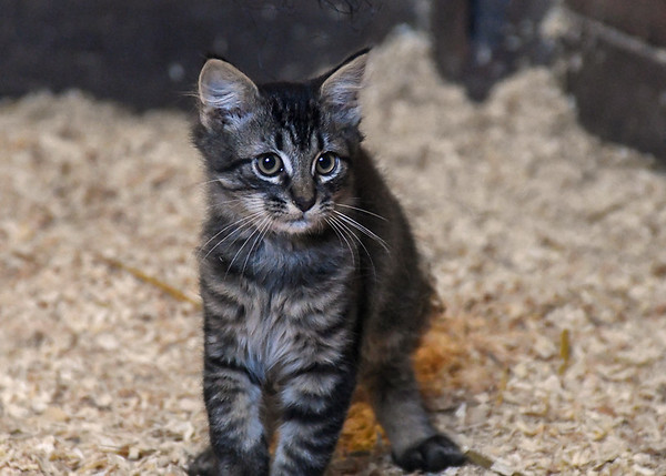 """<div class=""""jaDesc""""> <h4> Beany - September 9, 2017 </h4> <p>Beany is one of 5 kittens living in their own horse stall at a barn in Lancaster County, PA.</p> </div>"""