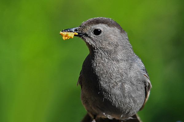 """<div class=""""jaDesc""""> <h4>Catbird with Beak Full - July 2, 2017</h4> <p>I don't think this Catbird could have held a bigger glob of suet than this.</p> </div>"""