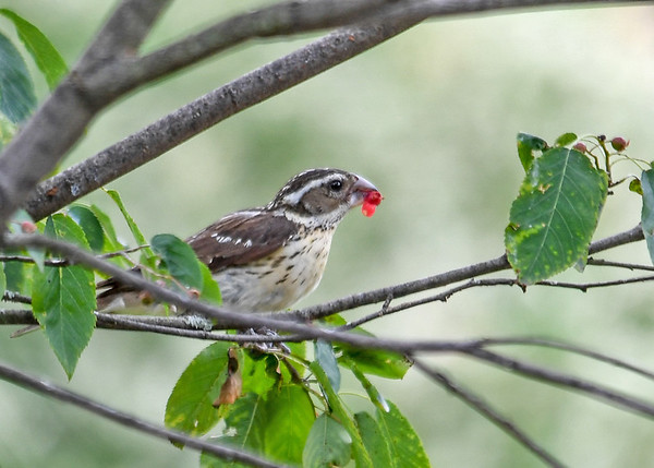 """<div class=""""jaDesc""""> <h4>Female Rose-Breasted Grosbeak Eating Serviceberry - July 14, 2017</h4> <p>The female Rose-breasted Grosbeak found one the last serviceberries.   All the birds love them, so they disappear quickly.</p> </div>"""