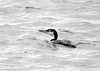 "<div class=""jaDesc""> <h4> Common Loon - Winter Plumage - November 13, 2018 </h4> <p> </p> </div>"