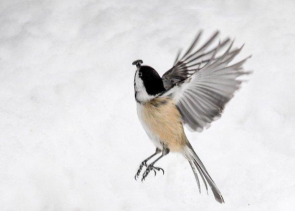 """<div class=""""jaDesc""""> <h4>Chickadee Vertical Take-off - February 22, 2018 </h4> <p>Got lucky and caught this little speedster taking off after snatching a seed.  He was headed from a snow bank up to a tree limb.</p> </div>"""