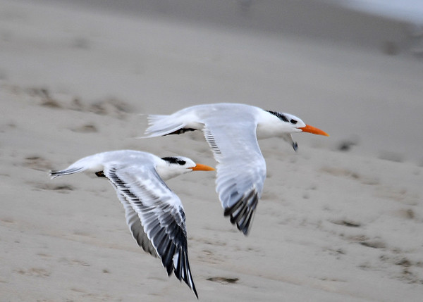 """<div class=""""jaDesc""""> <h4>Immature Royal Terns Wings Down - October 23, 2017 </h4> <p>It is neat to see them flying with their wings in sync.  Chincoteague National Wildlife Preserve</p> </div>"""