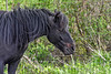 """<div class=""""jaDesc""""> <h4>A Dartmoor Pony Named Love - May 9, 2017</h4> <p>Love is a pregnant Dartmoor Pony.  She is visiting for a few weeks of light ground work and riding training before she has her baby in June.  She has a wonderfully calm and friendly nature. Dartmoor Ponies were introduced to the US from Devon, England in the 1930s.</p> </div>"""