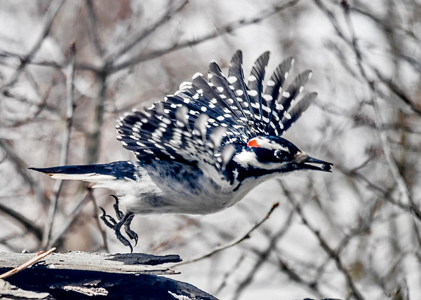 """<div class=""""jaDesc""""> <h4>Male Hairy Woodpecker Take-off - March 18, 2018</h4> <p>After finding a sunflower seed, this male Hairy Woodpecker decided to take it somewhere else to eat it.</p></div>"""