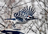 "<div class=""jaDesc""> <h4>Male Hairy Woodpecker Take-off - March 18, 2018</h4> <p>After finding a sunflower seed, this male Hairy Woodpecker decided to take it somewhere else to eat it.</p></div>"