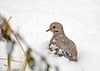 "<div class=""jaDesc""> <h4> Mourning Dove in Snow by Vegetation Wind Break - December 7, 2018 </h4> <p></p></div>"