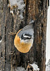 "<div class=""jaDesc""> <h4>Red-breasted Nuthatch Nose Up - January 29, 2019</h4> <p></p></div>"