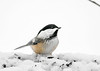 "<div class=""jaDesc""> <h4>Chickadee in Snow Pile Full of Seeds - January 29, 2019</h4> <p></p> </div>"