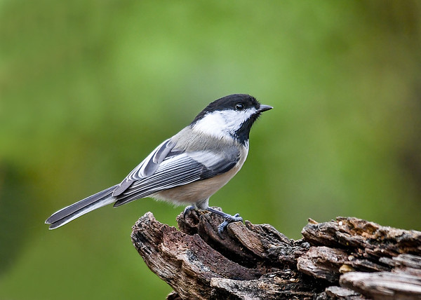 """<div class=""""jaDesc""""> <h4>Chickadee on Perch - October 21, 2018 </h4> <p>We have 6 Chickadees around all day long.  Getting in focus photos of them is a serious challenge.  They are so fast, very often leaving the frame before I have a chance to push the shutter button.</p> </div>"""