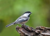 "<div class=""jaDesc""> <h4>Chickadee on Perch - October 21, 2018 </h4> <p>We have 6 Chickadees around all day long.  Getting in focus photos of them is a serious challenge.  They are so fast, very often leaving the frame before I have a chance to push the shutter button.</p> </div>"