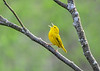 "<div class=""jaDesc""> <h4>Male Yellow Warbler Singing - May 8, 2018</h4> <p> I love when they stop and sing.  This little guy was zooming around through shrubs and trees at Dryden Lake, NY. </p> </div>"