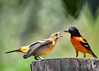 "<div class=""jaDesc""> <h4>Juvenile Female Oriole Reaching for Jelly - July 5, 2017</h4> <p>She started fluttering her wings as she leaned toward Dad's beak full of jelly.</p> </div>"