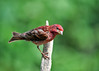 """<div class=""""jaDesc""""> <h4>Juvenile Male Purple Finch on Perch - July 2, 2017</h4> <p>Our first juvenile male Purple Finch showed up today.  He is exploring the front yard feeder area.</p></div>"""