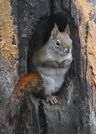 """<div class=""""jaDesc""""> <h4>Red Squirrel Paws Tucked Again - January 7, 2019 </h4> </div>"""