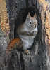 "<div class=""jaDesc""> <h4>Red Squirrel Paws Tucked Again - January 7, 2019 </h4> </div>"