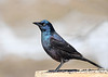 "<div class=""jaDesc""> <h4>Female Grackle on Feeder Box - March 23, 2019</h4> <p>This gal was a bit brighter.</p></div>"