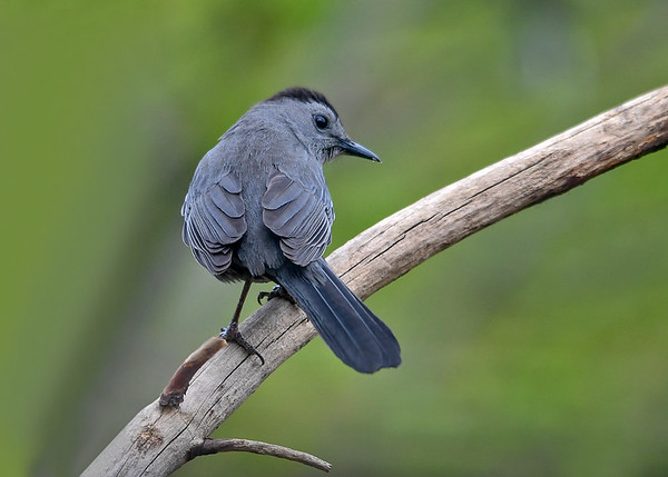 """<div class=""""jaDesc""""> <h4>Catbird - Back View - May 4, 2017</h4> <p>This Catbird is the female of the pair that showed up the same day.</p> </div>"""