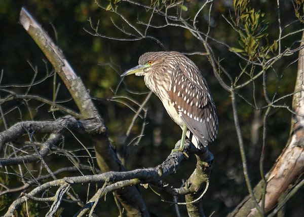 """<div class=""""jaDesc""""> <h4>Juvenile Black-crowned Night Heron on Perch #2 - November 9, 2016</h4> <p> After about 10 minutes, this juvenile Black-crowned Night Heron moved to another perch a bit farther from the road where I was standing.  Chincoteague Wildlife Preserve in Northern VA.</p> </div>"""