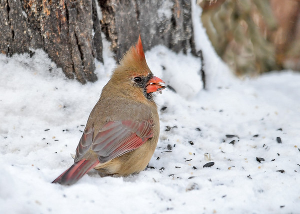 """<div class=""""jaDesc""""> <h4>Female Cardinal in Snow - Back View - December 14, 2017</h4> <p>This back view of Mrs. Cadinal shows of all her beautiful colors.</p> </div>"""