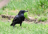 "<div class=""jaDesc""> <h4>Crow Cleaning Up Birdseed - May 5, 2018</h4> <p>A pair of Crows visit our front yard every morning to clean up whatever seed the other birds have not eaten.</p>  </div>"