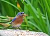 """<div class=""""jaDesc""""> <h4> Male Bluebird with Beak Full - June 13, 2016</h4> <p>After each thank you stop, he was not bashful about collecting as many mealworms as he could manage - 5 on this trip.</p> </div>"""