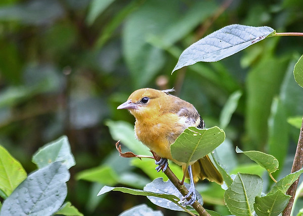 """<div class=""""jaDesc""""> <h4>Juvenile Baltimore Oriole in Bush - June 28, 2018</h4> <p>When chased from the feeder table, she hangs out in the nearby bush waiting to return.</p> </div>"""