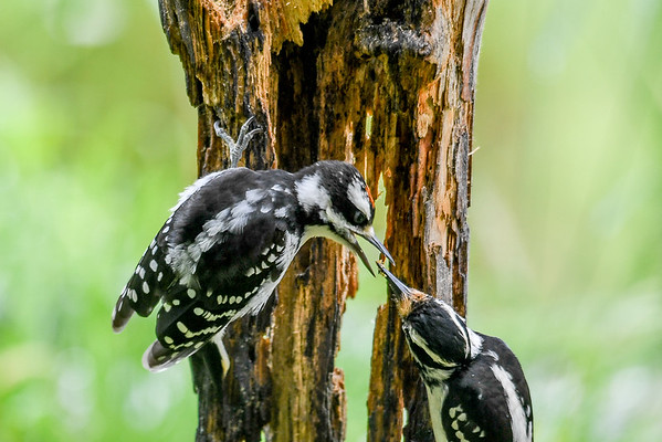 """<div class=""""jaDesc""""> <h4>Juvenile Male Hairy Receives Suet Chunk - June 15, 2017</h4> <p>Mom always turns her head so it is easy for the juvenile to receive the food.</p></div>"""