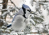 <h4>Blue Jay - Peanuts for Breakfast - January 29, 2019</h4> <p>This is one of our 40 Blue Jays enjoying shelled peanuts for breakfast.  They try to get as many as they can in their beak at once before flying off to stash them in their private hiding place.</p>