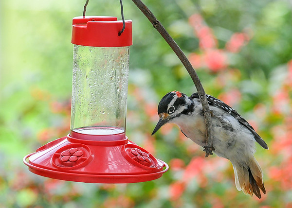 """<div class=""""jaDesc""""> <h4>Male Hairy Woodpecker at Hummingbird Feeder #1 - September 10, 2018</h4> <p>One of our Hairy Woodpeckers landed on the stick perch that I put up above the feeder for the Hummingbirds.  With his weight, it swung way down right to where he could get at the sugar water port.</p></div>"""
