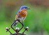 """<div class=""""jaDesc""""> <h4> Male Bluebird Saying Thank You - June 13, 2016</h4> <p>Each trip, the male Bluebird would first fly to this ornament which was 10 feet from me and do a little chatter call.  Then he would fly to gather mealworms.  It seemed like a thank you stop - very nice manners!</p> </div>"""