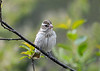 """<div class=""""jaDesc""""> <h4>Female Rose-Breasted Grosbeak in Cherry Tree - May 11 2018</h4> <p>We have 2 females.  This one is an adult.  I think the second female is one of last year's offspring and one of the family of four that is back this year.</p> </div>"""