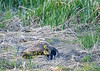 """<div class=""""jaDesc""""> <h4>Goslings Under Mom's Wing - May 8, 2018</h4> <p>There are seven Goslings under Mom's wing; the last one is trying to get under with them. Dryden Lake, NY.</p> </div>"""