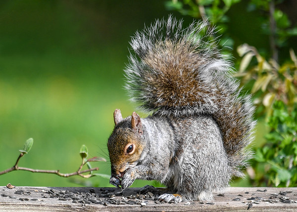 """<div class=""""jaDesc""""> <h4> Gray Squirrel Eating Sunflower Seeds - April 30, 2017</h4> <p> A pair of Gray Squirrels visit our yard daily.  One stays in the front yard, the other in the back yard.</p> </div>"""