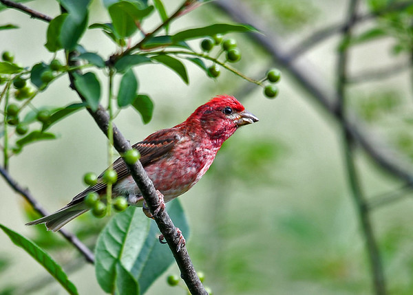 """<div class=""""jaDesc""""> <h4>Juvenile Male Purple Finch in Cherry Tree - July 2, 2017</h4> <p>He does not know it yet, but this  juvenile male Purple Finch will be munching on these cherries in a few weeks.</p></div>"""